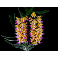 Aerides Houlletiana 1,7