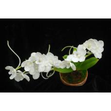 Amesiella Monticola 1,7