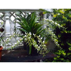 Angcm. Eburneum Xerophyllum