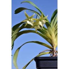 Angcm. Orchidglade