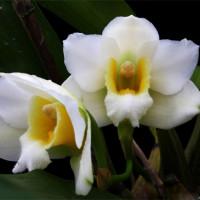 Bifrenaria Harrisoniae alba