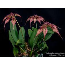 Bulb. Rothschildianum