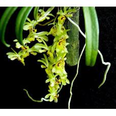 Chytroglossa Aurata