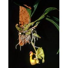 Coryanthes Verrucolineata