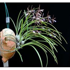 Enc. Bractescens 1,7