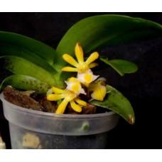 Gastrochilus Obliquus var. Obliquus