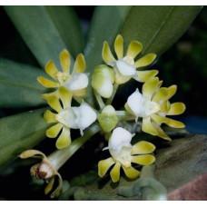 Gastrochilus Patinatus Alba