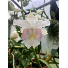 Gastrochilus Pulchra