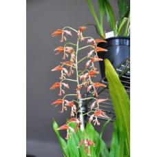 Gongora Rufescens