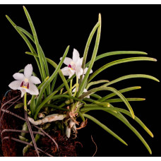 Holcoglossum Flavescens 1,7