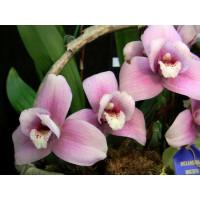 Lyc. Pink Hybrid