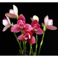 Lyc. Yi-Ying Sakura 1,7