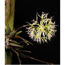 Macroclinium Aurorae