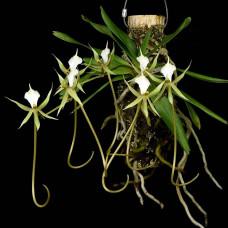 Plectrelminthus Caudatus 1,7
