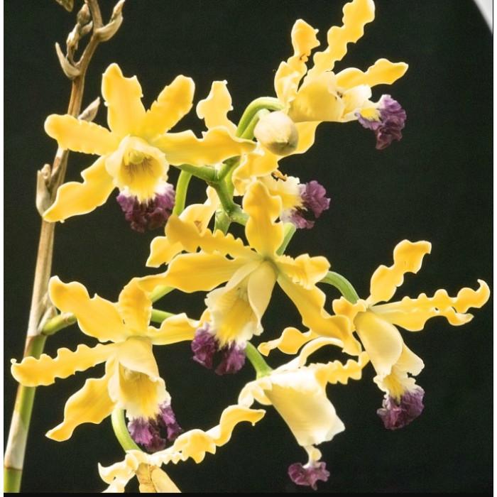 Schomburgkia Thomsoniana yellow