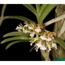 Trich. Triflora 1,7