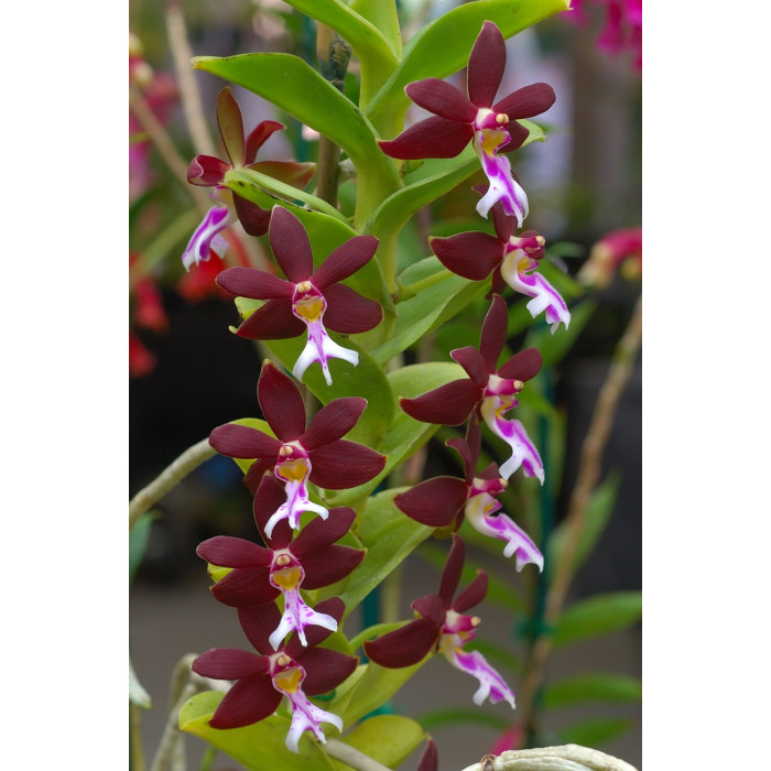 Trich. Philippinensis