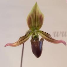Paph. Appletonianum x Thailandense