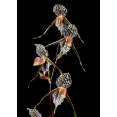 Paph. Bel Royal