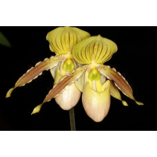 Paph. Clifton Booth