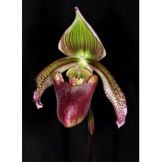 Paph. Curtisii Gruene Fahne 1,7
