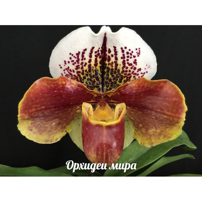 Paph. Enzan Kitty