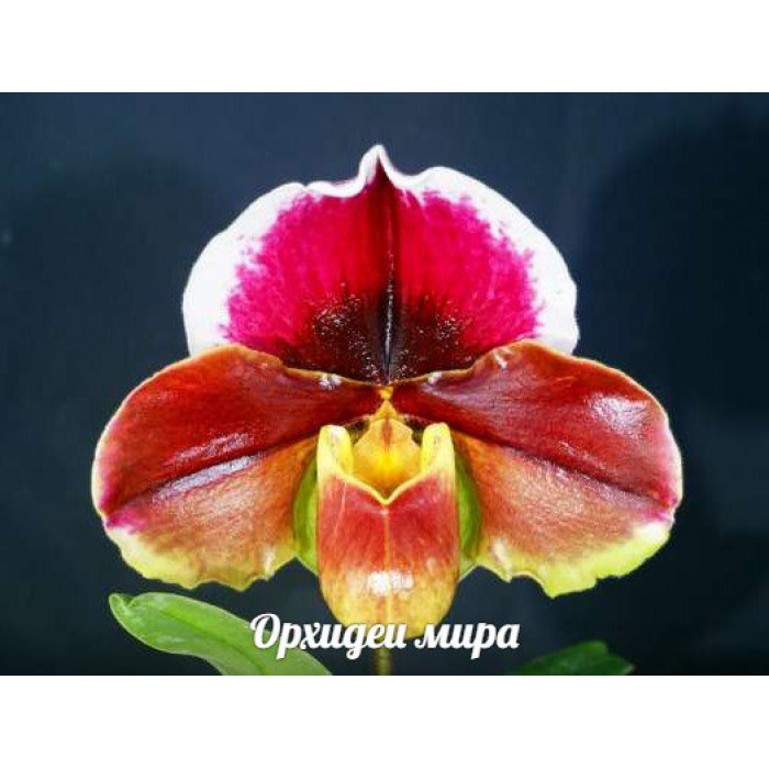 Paph. Giant Wings