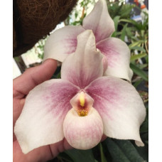 Paph. In-Charm Handel