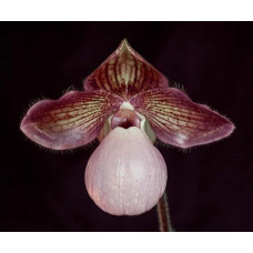 Paph. Memoria Connie Truax
