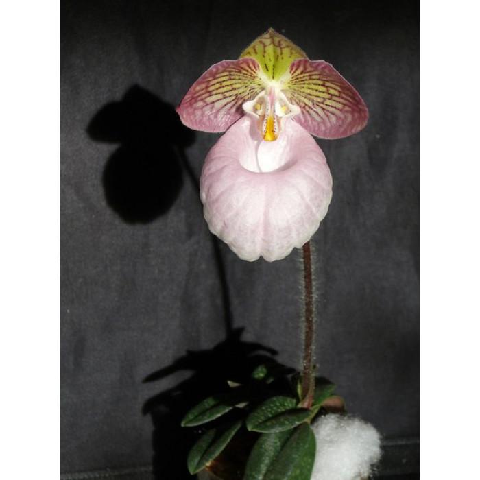 Пафиопедилум (Micranthum)
