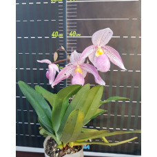 Paph. Philippinense × Delenatii