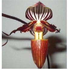 Paph. Philippinense × Wilhelminae