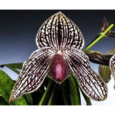 Paph. Rolfei