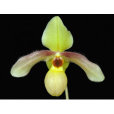 Paph. Wössner Goldball 3,5