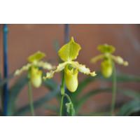 Paph. Primulinum