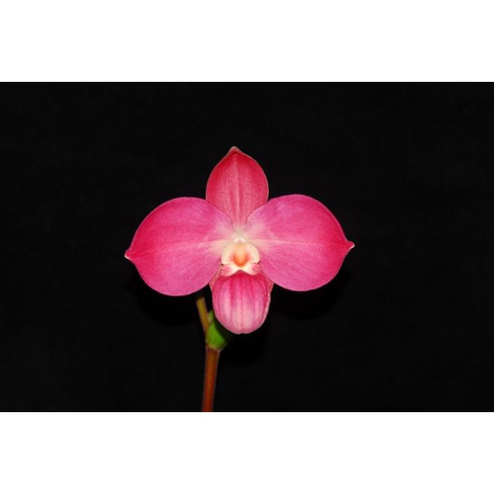Phrag. Perufloras Cirila Alca
