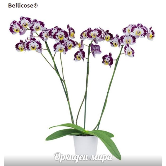 Фаленопсис Белликоз (Bellicose подростки)