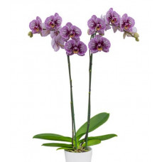 Phal. Black Stripes 1,7