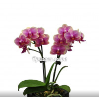 Phal. Cute Holly 23 уценка