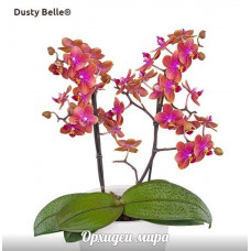 Phal. Dusty Belle 1,7 уценка