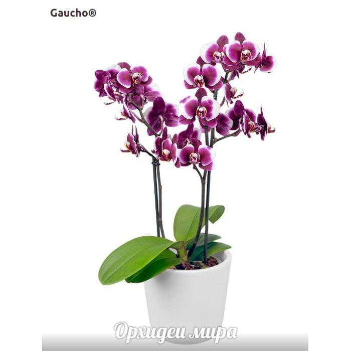 Фаленопсис (Gaucho)