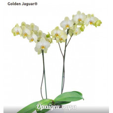 Phal. Golden Jaguar 1,7