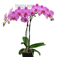 Phal. Isabell 3