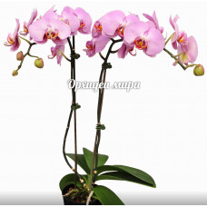Phal. Isabell 6