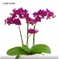 Phal. Lady Luck