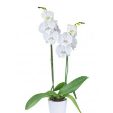 Phal. Nordic Lady big lip уценка