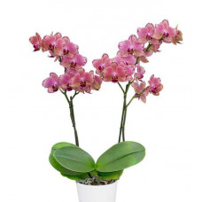 Phal. Pirate Picotee 1,7