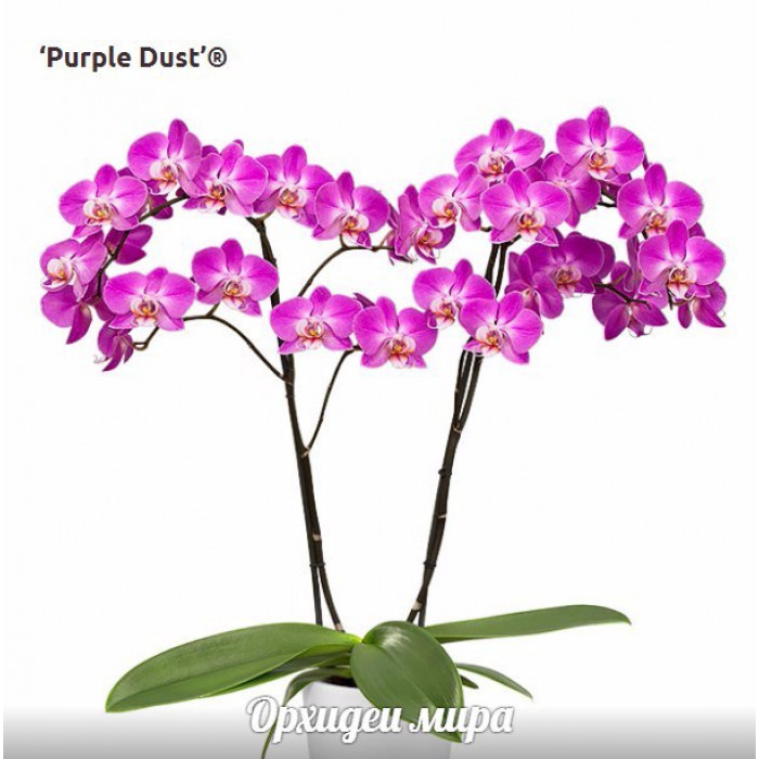 Phal. Purple Dust уценка