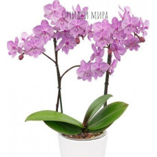 Phal. Quiet Voices big lip уценка