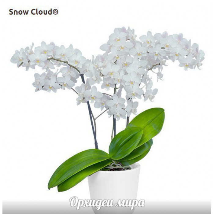 Phal. Snow Cloud уценка